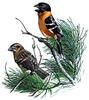 Black-headed Grosbeak (Pheucticus melanocephalus) - Wiki