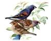 Blue Grosbeak (Passerina caerulea) - Wiki