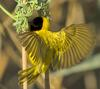 Black-headed Weaver (Ploceus melanocephalus) - Wiki