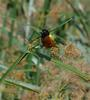 Golden-backed Weaver (Ploceus jacksoni) - Wiki