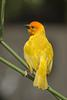 Golden Palm Weaver (Ploceus bojeri) - Wiki
