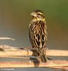 Black-throated Weaver (Ploceus benghalensis) - Wiki