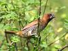 Scaly-breasted Munia (Lonchura punctulata) - Wiki