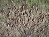 Red-billed Quelea (Quelea quelea) - Wiki