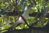 Channel-billed Cuckoo (Scythrops novaehollandiae) - Wiki