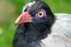 Coral-billed Ground-cuckoo (Carpococcyx renauldi) - Wiki