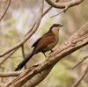 Coucal (Genus: Centropus, a kind of cuckoos) - Wiki