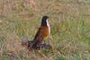 Coppery-tailed Coucal (Centropus cupreicaudus) - Wiki