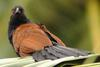 Greater Coucal (Centropus sinensis) - Wiki