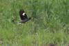 White-vented Myna (Acridotheres grandis) - Wiki