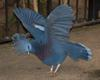 Victoria Crowned Pigeon (Goura victoria) - Wiki