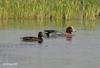Wigeon (Part of Genus Anas) - Wiki