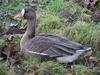Pacific White-fronted Goose, Anser albifrons frontalis