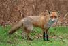 Foxes (Family: Canidae, Tribe: Vulpini) - Wiki