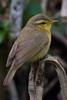 Tickell's Leaf-warbler (Phylloscopus affinis) - Wiki