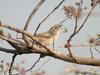 Common Chiffchaff (Phylloscopus collybita) - Wiki