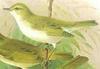 Bonelli's Warbler (Part of Genus: Phylloscopus) - Wiki
