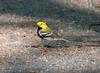 Black-throated Green Warbler, Dendroica virens