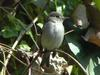 Asian Brown Flycatcher (Muscicapa dauurica) - Wiki