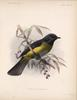 Black-and-yellow Silky-flycatcher (Phainoptila melanoxantha) - Wiki