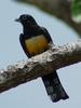 Black-headed Trogon (Trogon melanocephalus) - Wiki