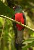 Slaty-tailed Trogon (Trogon massena) male