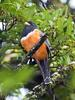 Orange-bellied Trogon (Trogon aurantiiventris) - Wiki