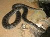 Dark-spotted Anaconda, Eunectes deschauenseei