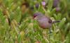 Common Waxbill (Estrilda astrild) - Canary Islands
