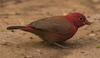 Red-billed Firefinch (Lagonosticta senegala) - Wiki