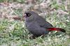 Beautiful Firetail (Stagonopleura bella) - Wiki