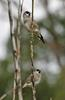 Plum-headed Finch (Neochmia modesta) - Wiki