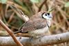 Double-barred Finch (Taeniopygia bichenovii) - Wiki