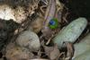 Blue-faced Parrotfinch (Erythrura trichroa) - Wiki