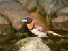 Chestnut-breasted Munia (Lonchura castaneothorax) - Wiki