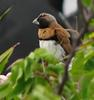 Chestnut-breasted Munia (Lonchura castaneothorax)
