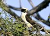 Laughing Falcon (Herpetotheres cachinnans) - Wiki