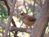 Clay-colored Robin (Turdus grayi)