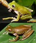 Color-changing Frog - Rhacophorus penanorum