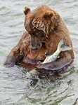...Sleeping with the fishes: Alaskan bear nods off in river after catching salmon [DailyMail 2011-0
