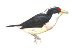 White-mantled Barbet (Capito hypoleucus) - Wiki