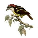 Five-coloured Barbet (Capito quinticolor) - Wiki