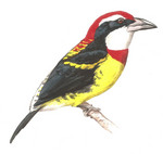 Scarlet-banded Barbet (Capito wallacei) - Wiki