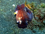Coconut Octopus or Veined Octopus (Amphioctopus marginatus) - Wiki