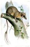 Pen-tailed Tree-shrew (Ptilocercus lowii) - Wiki