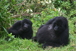 Great Apes: All 4 Gorillas Subspecies - Mountain Gorilla (Gorilla beringei beringei) [OurAmazing...