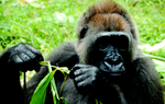 Great Apes: All 4 Gorillas Subspecies - Cross River Gorilla (Gorilla gorilla diehli) [OurAmazing...
