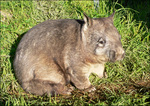 [Rare Animals] Northern hairy-nosed wombat (Lasiorhinus krefftii)