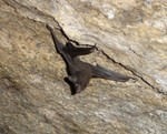 [Rare Animals] Seychelles sheath-tailed bat (Coleura seychellensis)