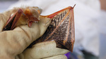 Badger-Like Striped Bat Discovered in South Sudan [TheScientist 2012-01-01]